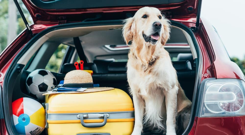 A golden retriever is sitting in the back of an SUV in Lawrence, IN.