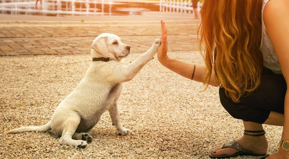 A woman is giving a puppy a high five.